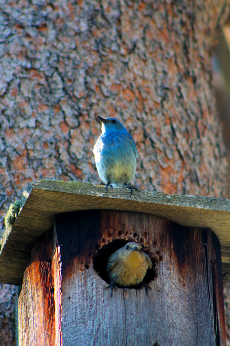 Mating pair of mountain bluebirds in Hallowell Park, located inside of Rocky Mountain National Park, CO.